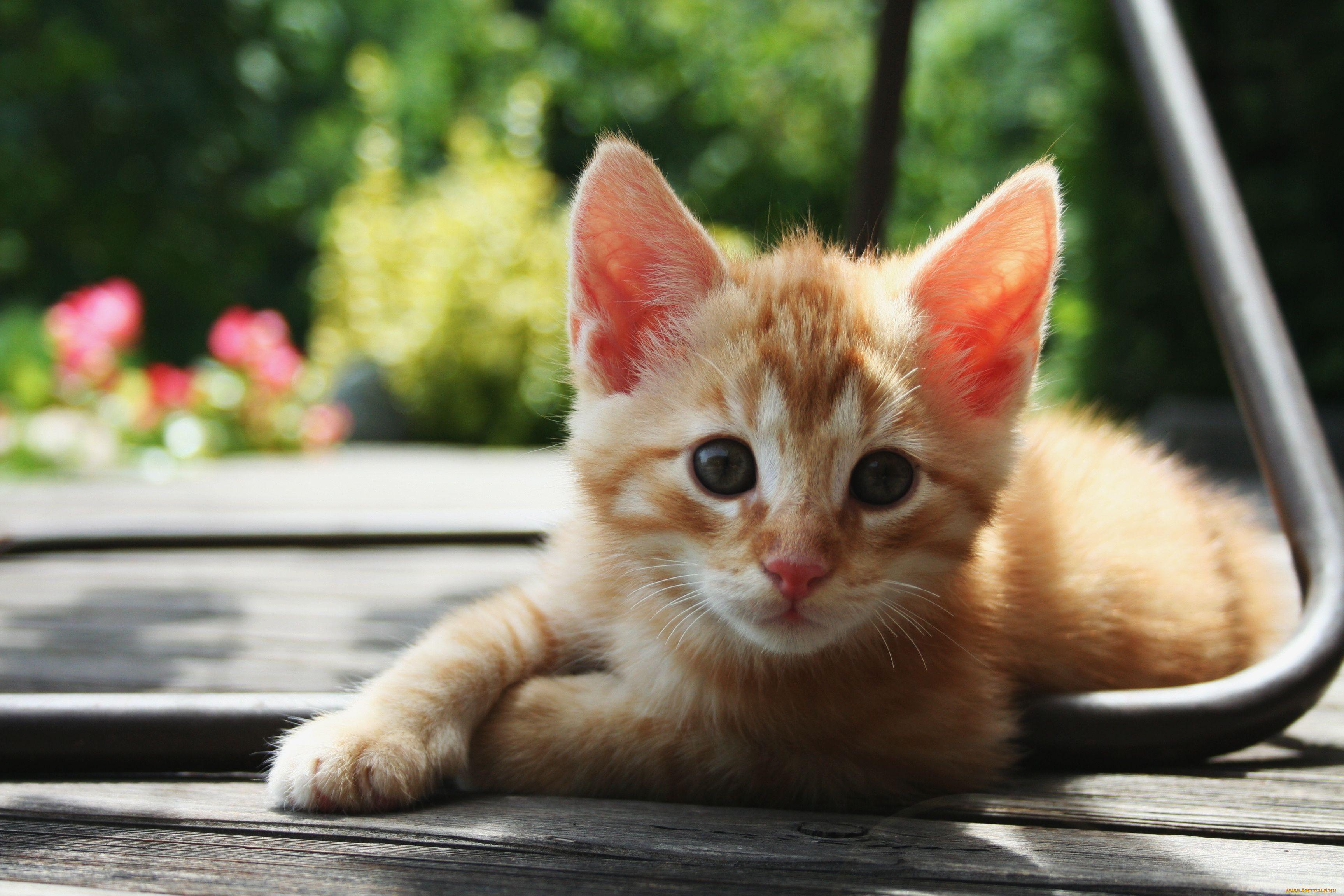 картинки рыжего котенка когда американцы
